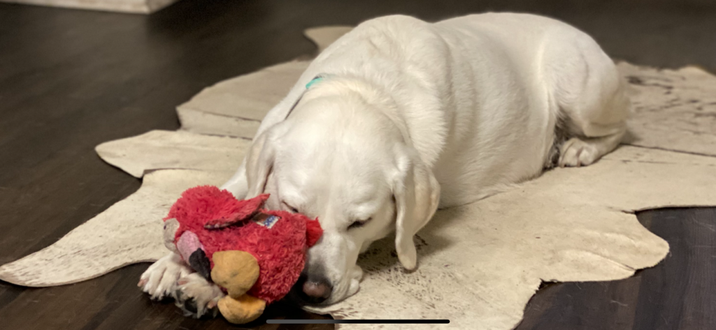 White lab sleeping with toy
